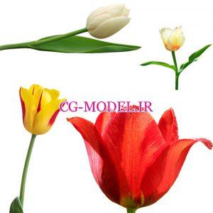 PNG گل لاله